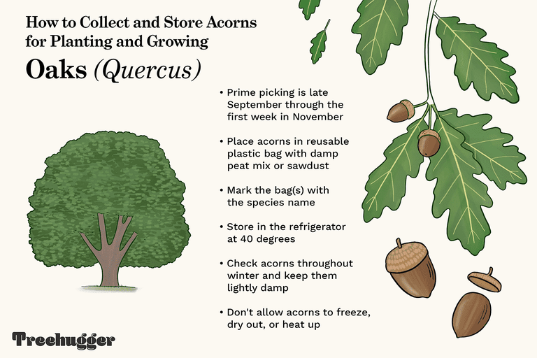 how to collect and store acorns for planting and growing illo