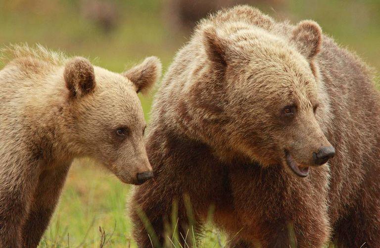 Cómo las madres osas en Suecia son más astutas que los cazadores