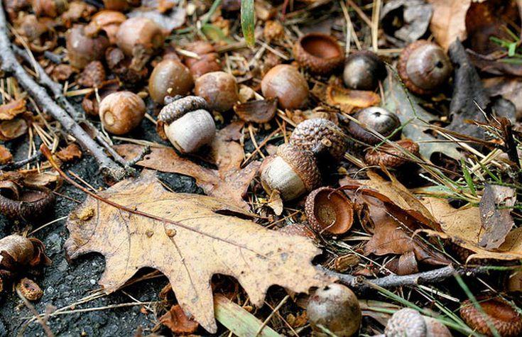 50 Black oak acorns quercus velutina fresh fallen collected floated!