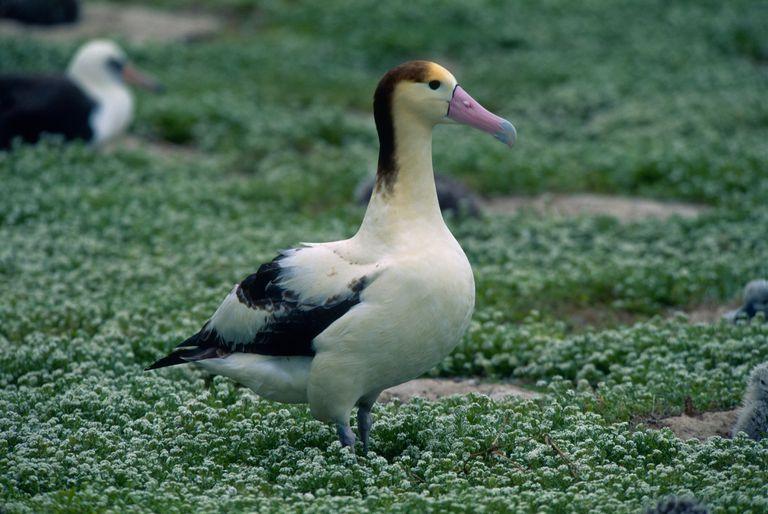 A short-tailed albatross endangered bird walks across clover.