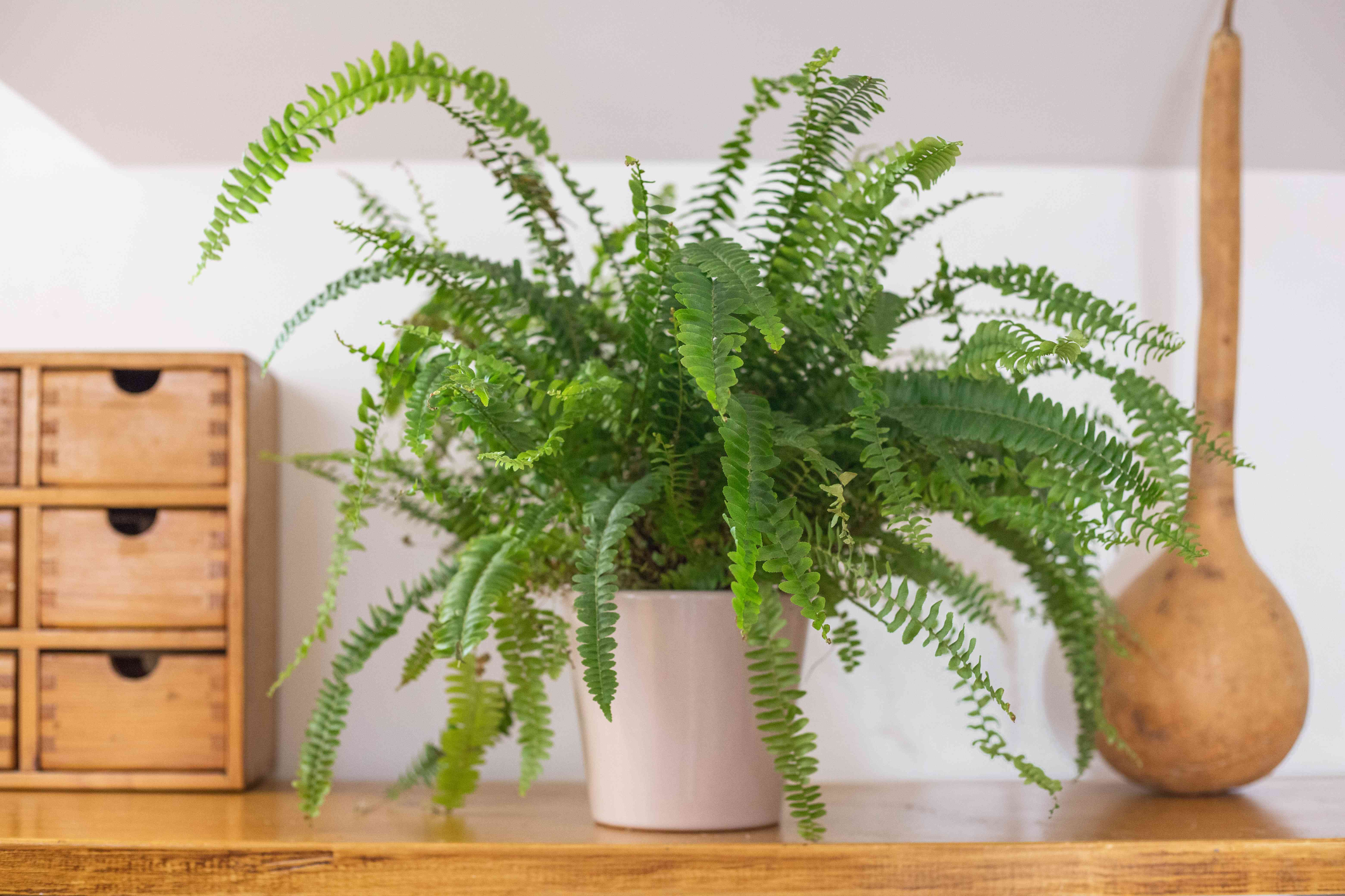 large fern house plant is displayed on wooden shelf next to other house decor