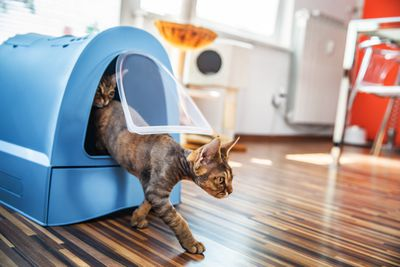 Domestic Cat Stepping Out of Closed Litter Box