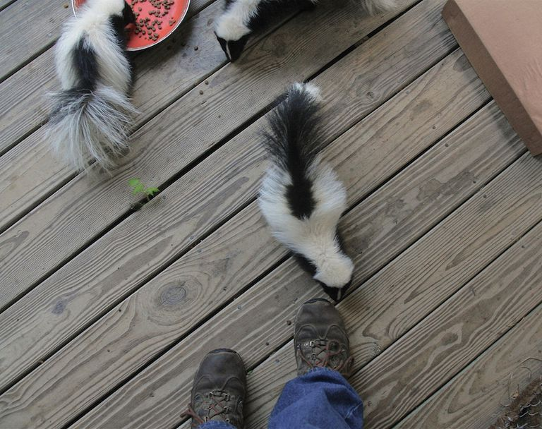 Three skunks on a deck eating cat food