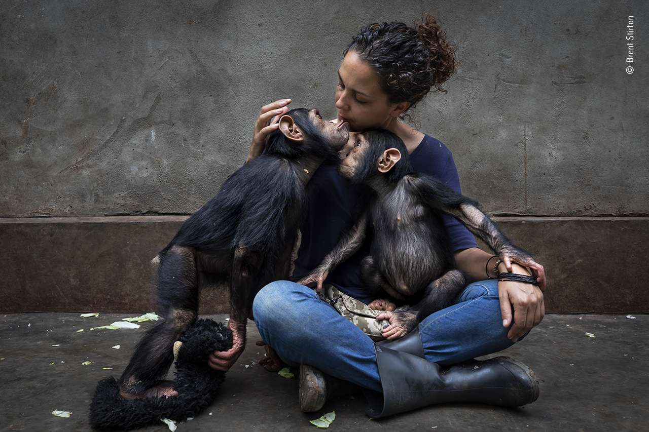 caretaker with orphaned chimps
