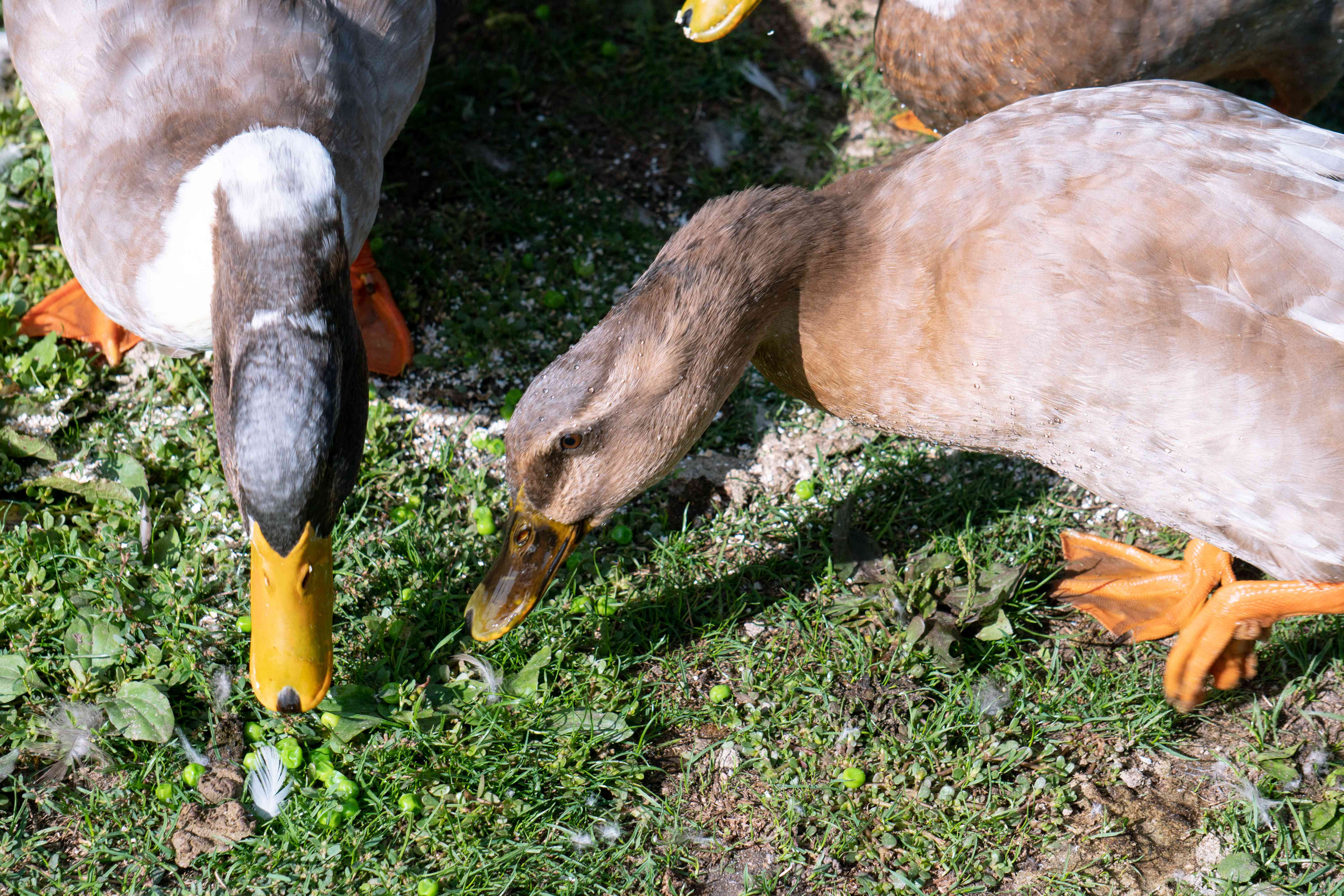 two ducks look for food on grass