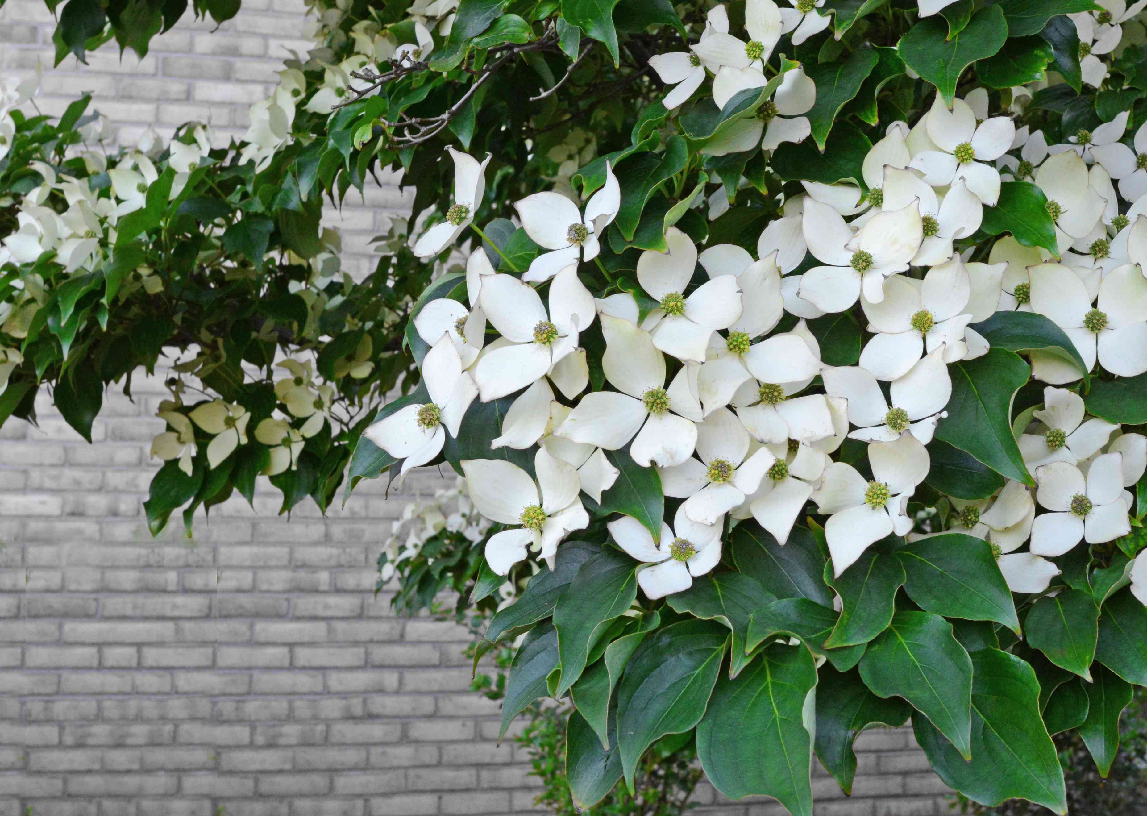 A close-up shot of a dogwood tree in bloom in front of a brick wall