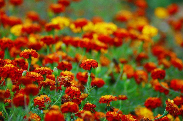 marigolds, plants that repel insects