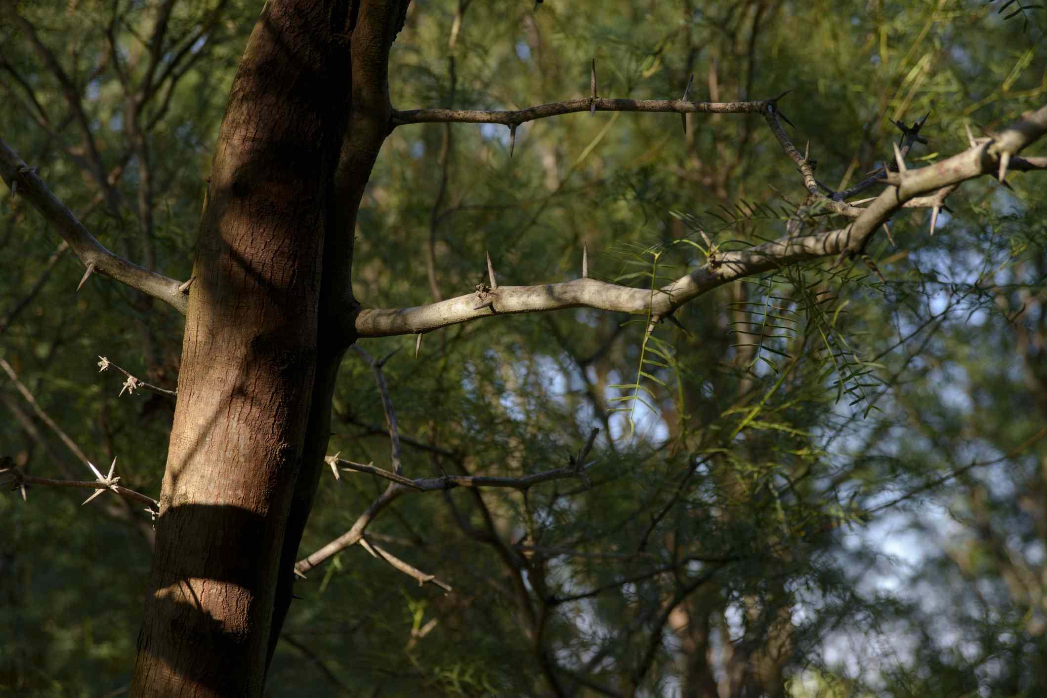 Honey Mesquite plant Prosopis chilensis