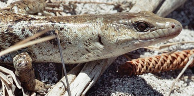 A curious carnivorous terror skink lizard