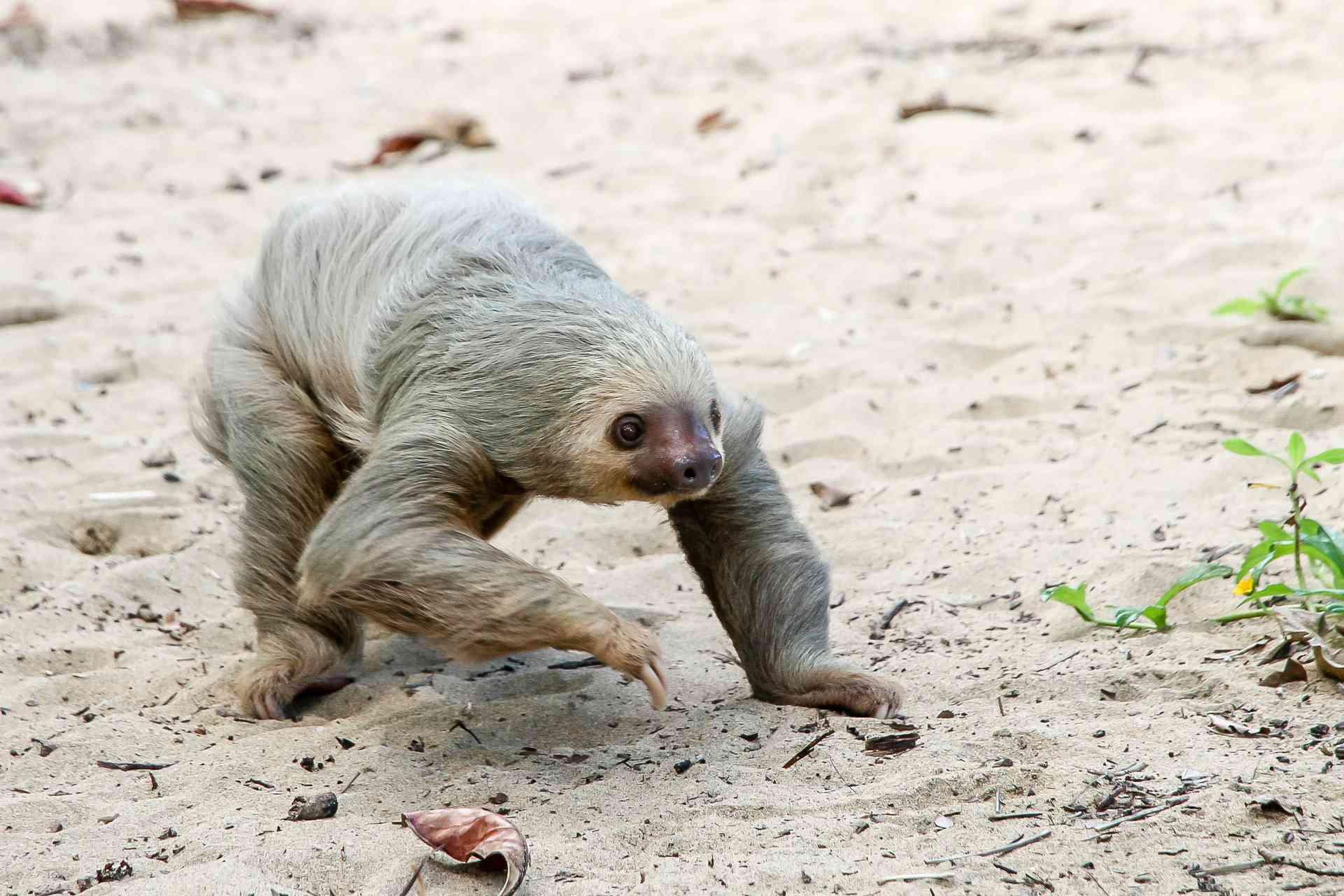sloth walking on sandy ground