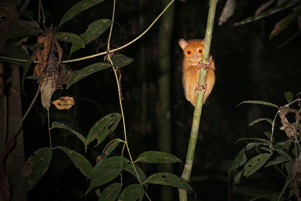 tarsier with big eyes climbing branch