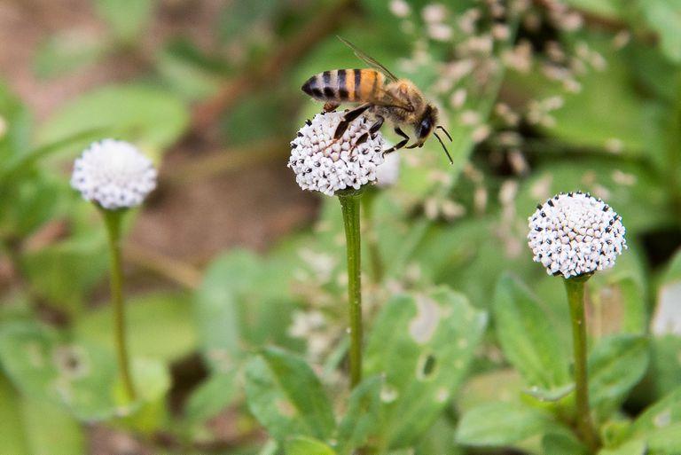 africanized killer honey bee rests on flower