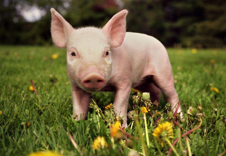 piglet walking through grass and dandelion flowers