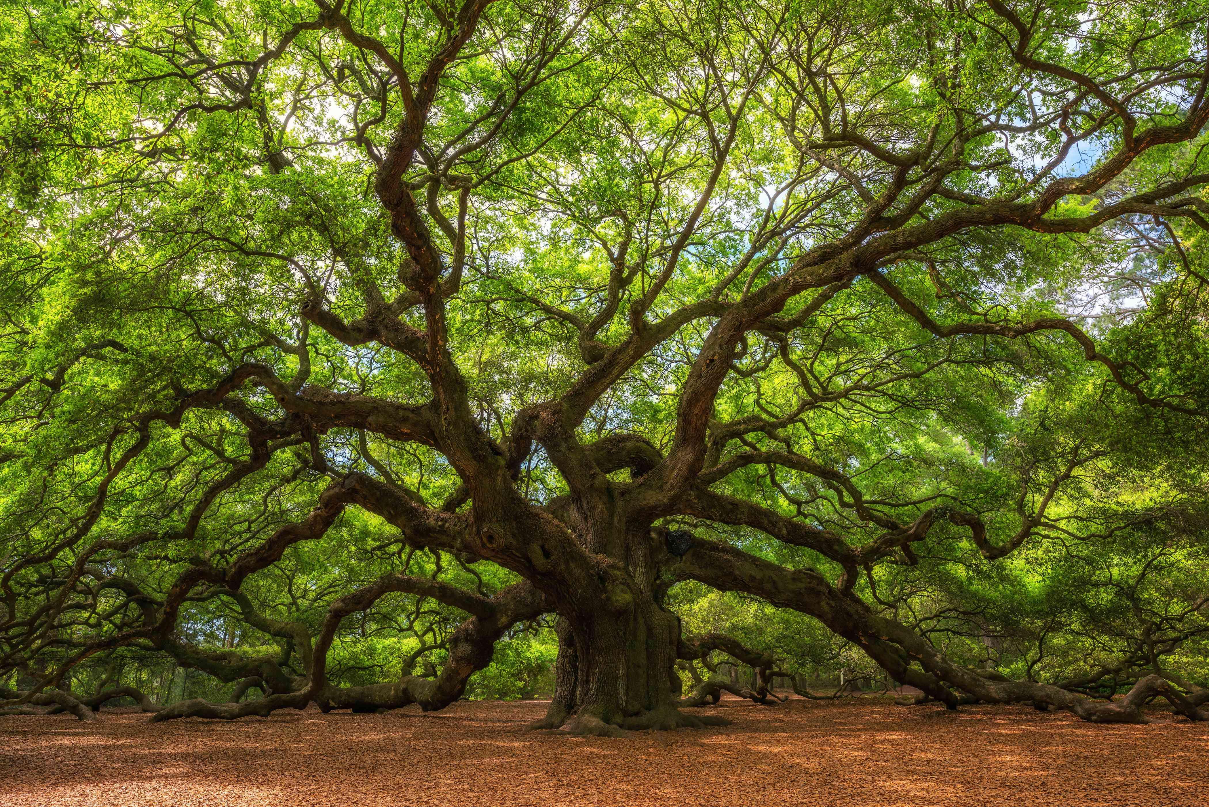 Angel Oak tree on Johns Island, S.C.