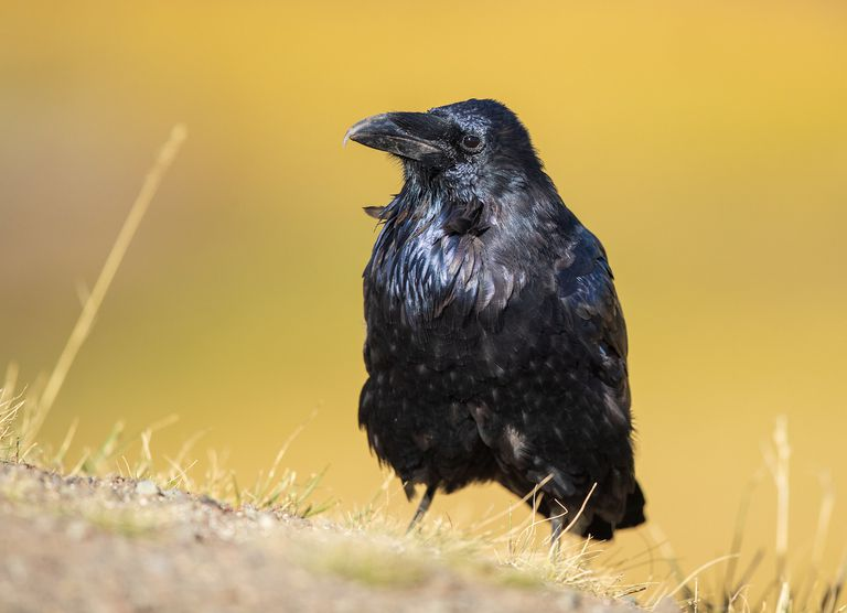 A raven standing on a patch of dead grass