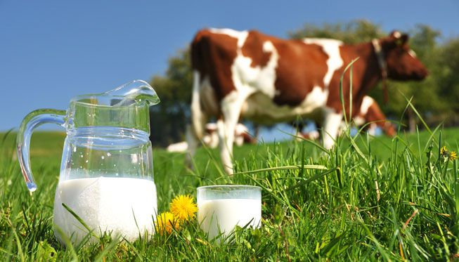 A pitcher and glass of milk in a pasture with cows