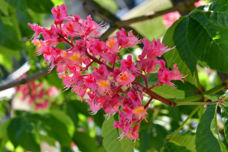 Flower of the red horse chestnut tree.