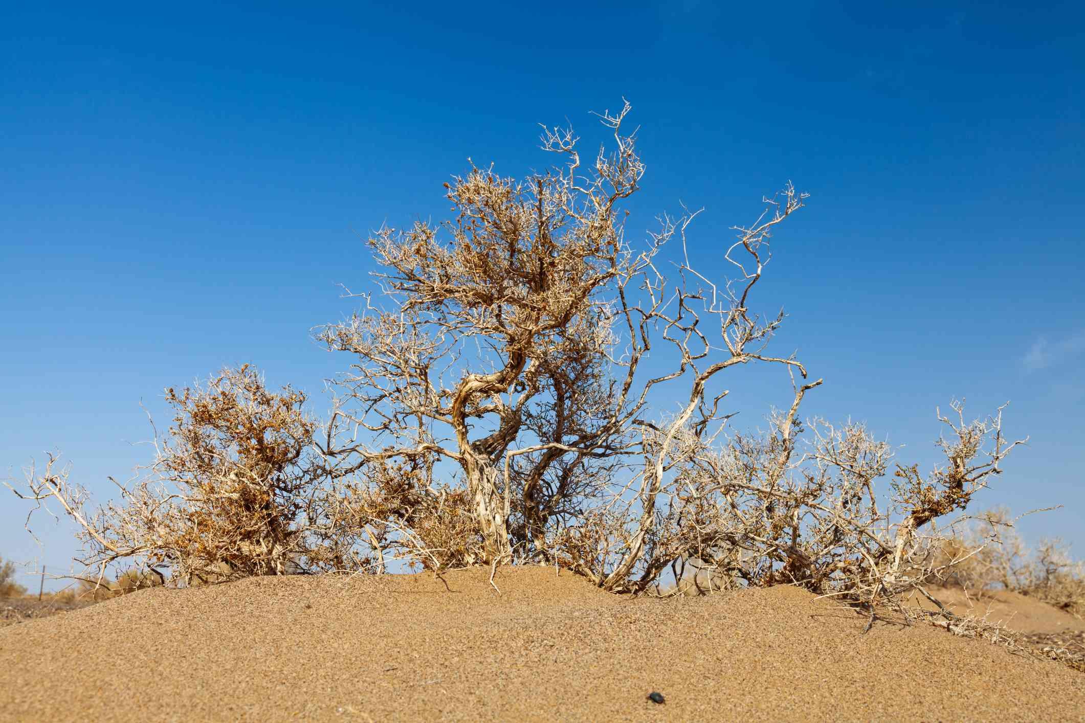 Camel Thorn (Alhagi Sparsifolia)