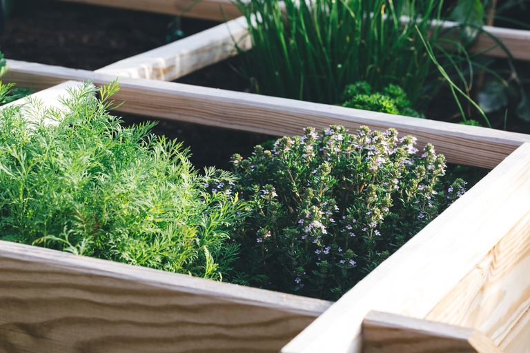 Aromatic Herbs, Dill, Thyme, Parsley And Chive In A Raised Bed Garden.