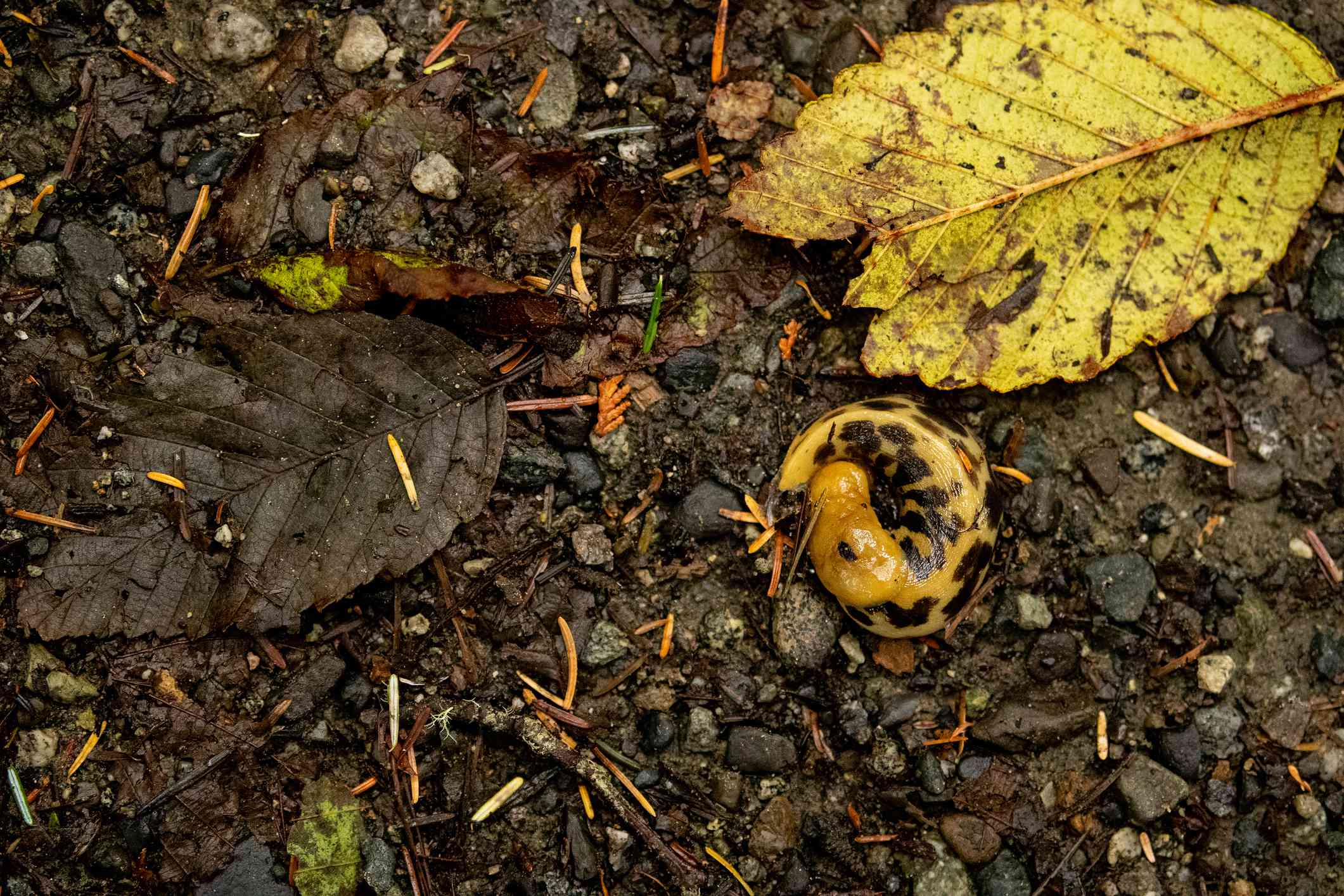 yellow banana slug with brown spots near a similarly colored leaf on the forest floor