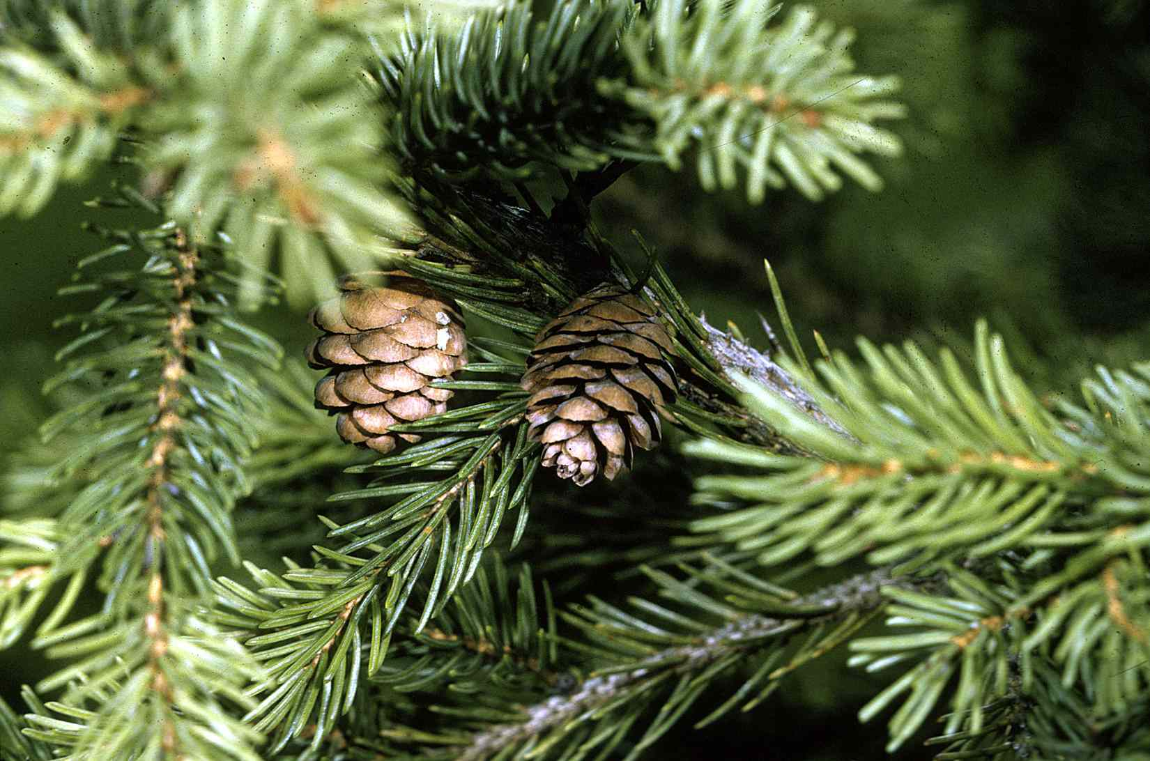 Red spruce tree pine cones.