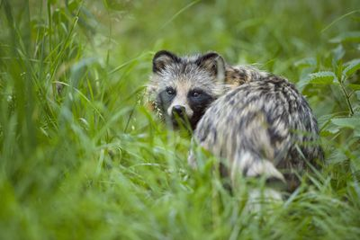 A tanuki standing in a field of tall grass looks over its shoulder