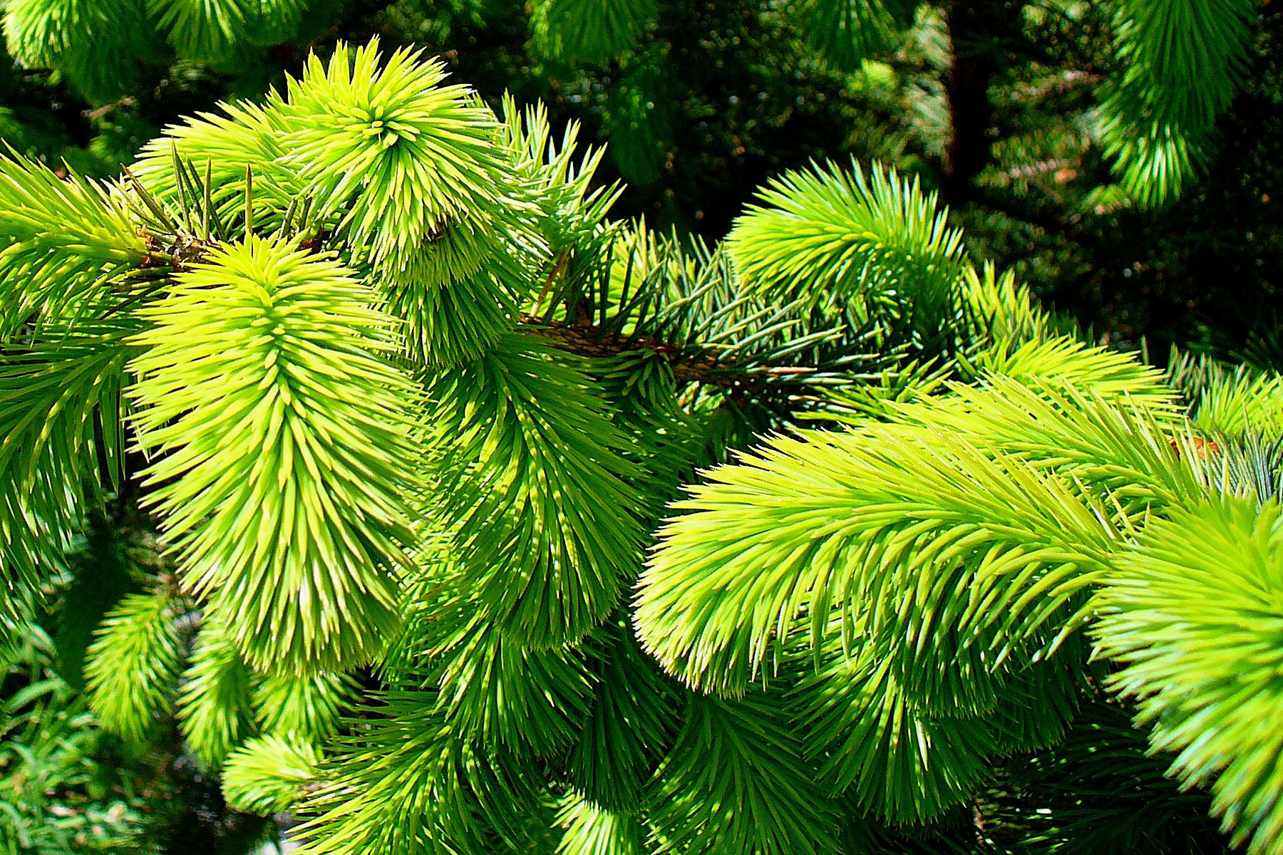 Close up of sitka spruce tree branches.