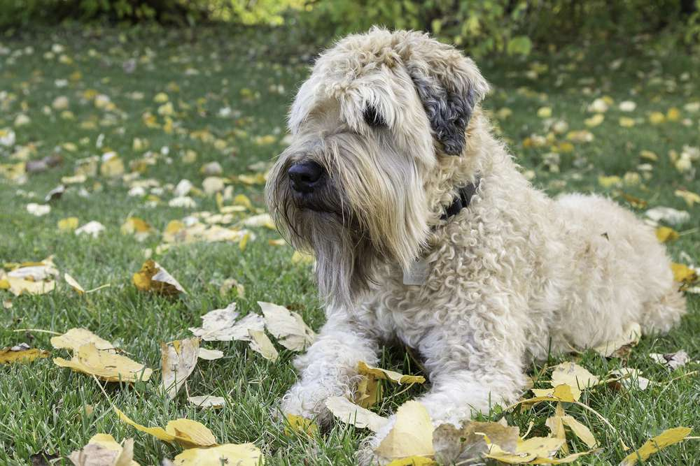 soft-coated Wheaten terrier sitting on grass covered with leaves