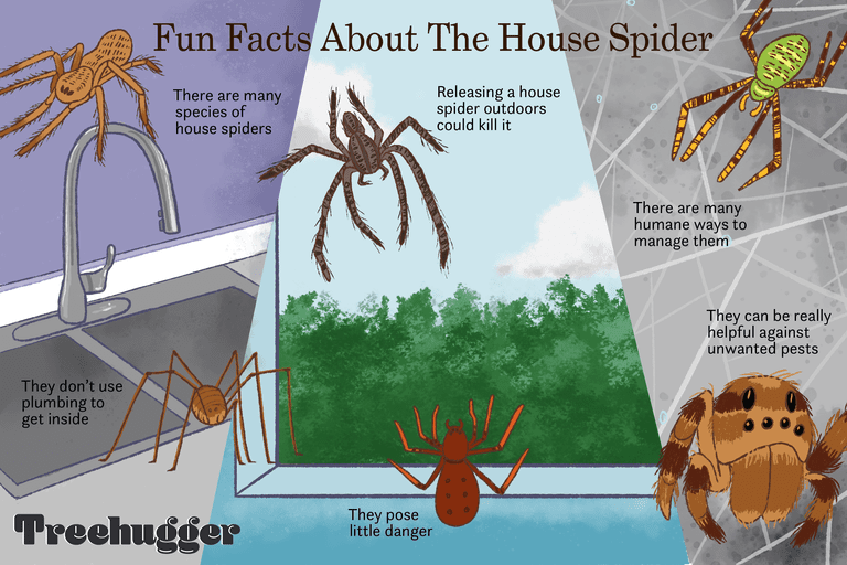fun facts about the house spider illustration