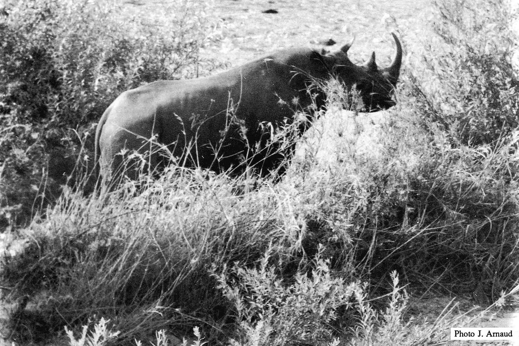 historic black and white photo of extinct Western Black Rhino in Cameroon