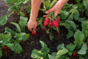 Person pulling radishes out of the ground