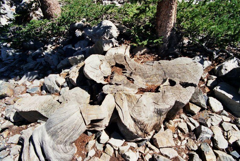 stump of the prometheus tree photo