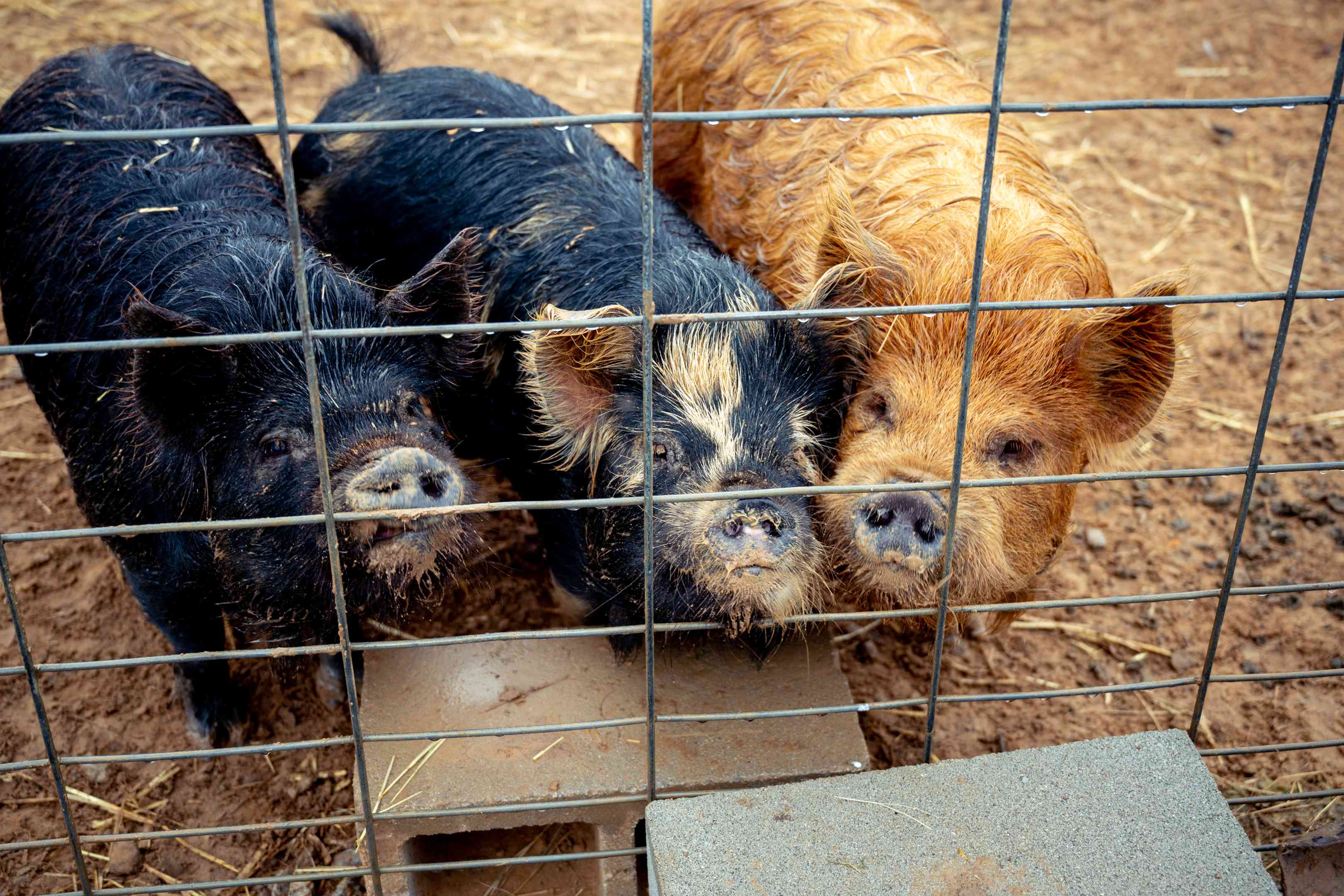 three scruffy pigs line up in front of wire fence awaiting treats