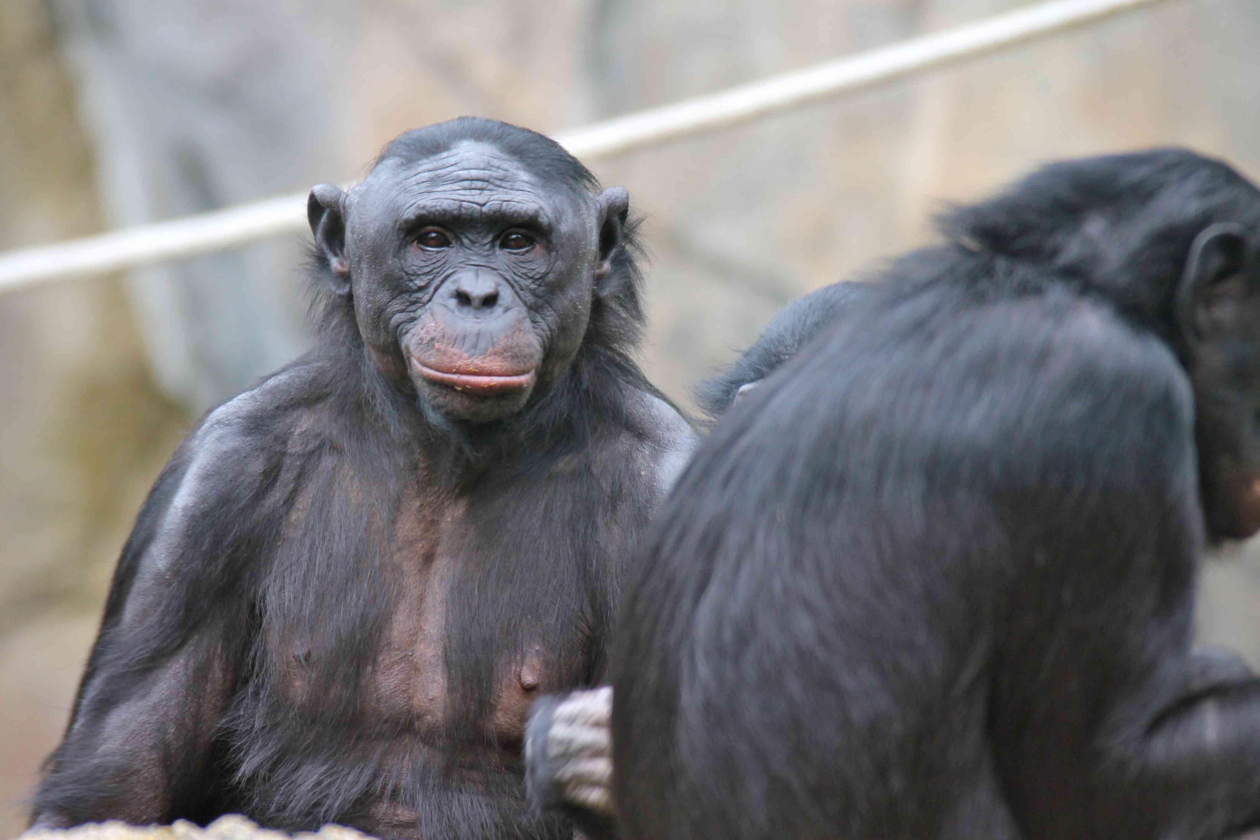 Two Bonobos