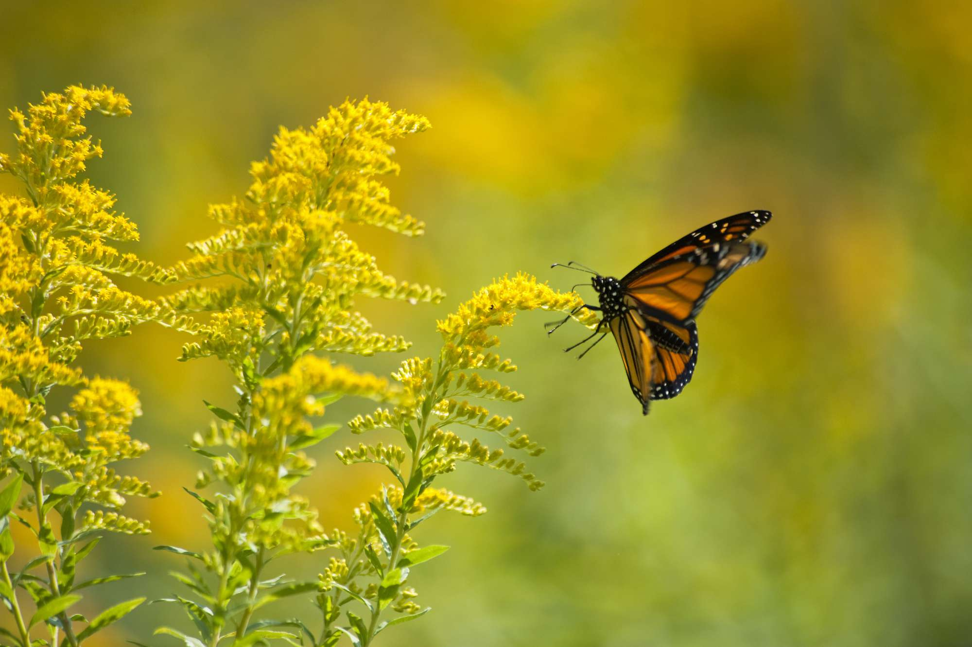 monarch butterfly on a goldenrod plant