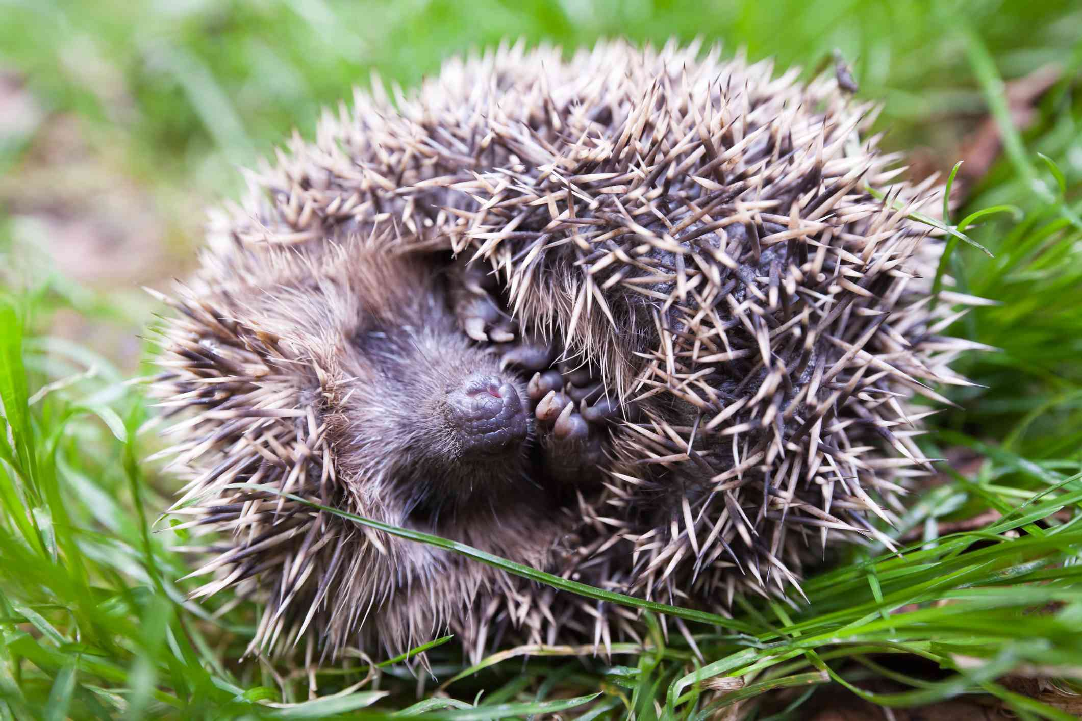 A frightened hedgehog rolled into a ball