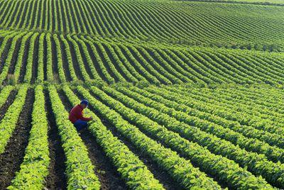 Farmer checking plants in a soybean field