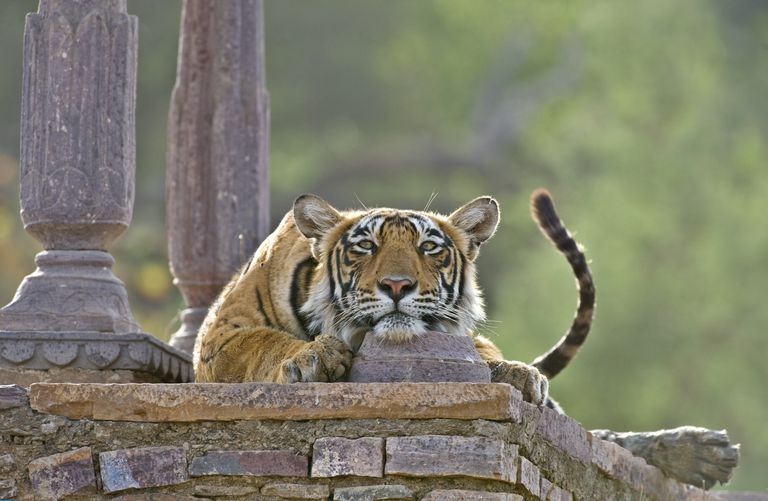 Bengal tiger resting at an old temple in India