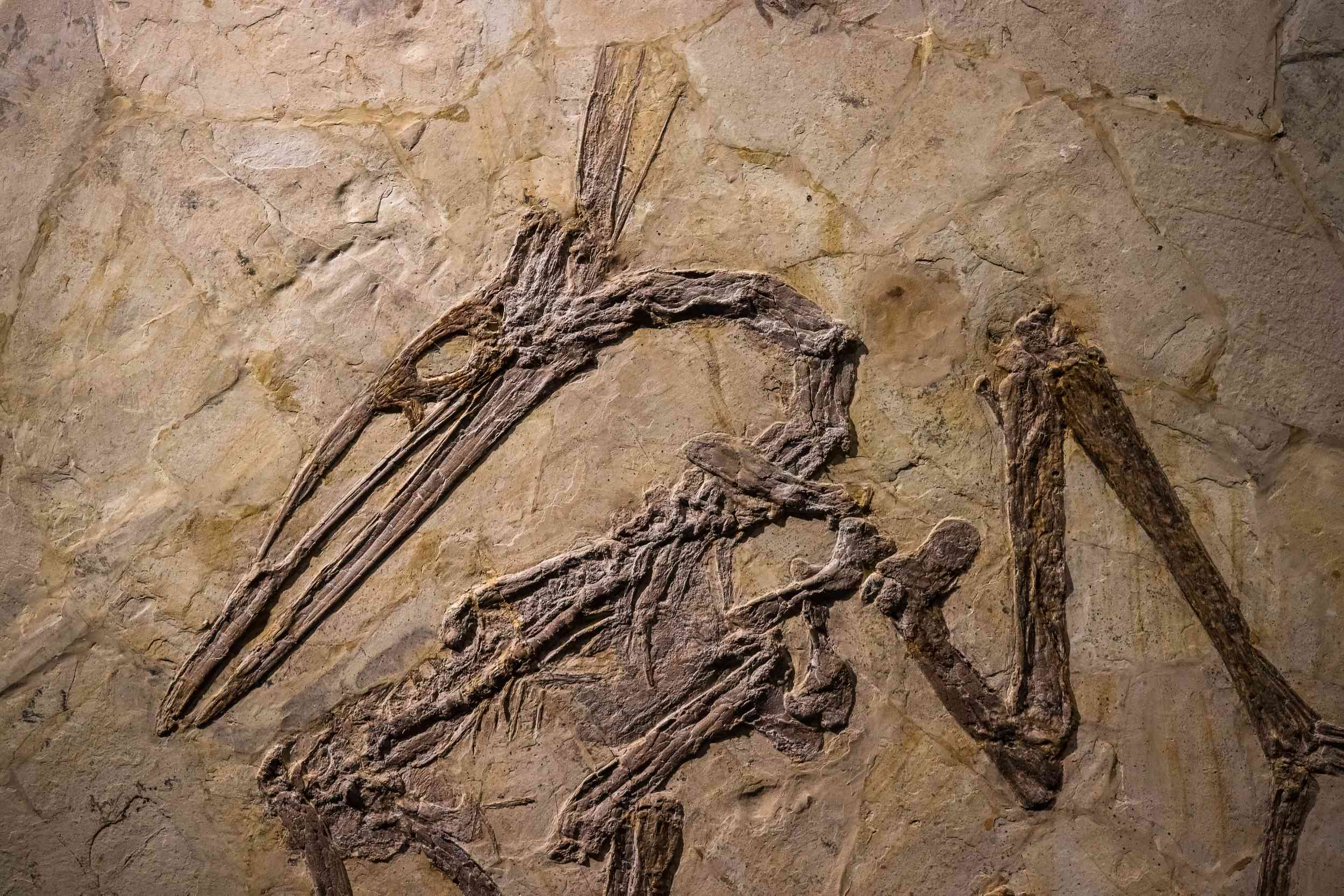 pterosaurs and dinosaurs fossil