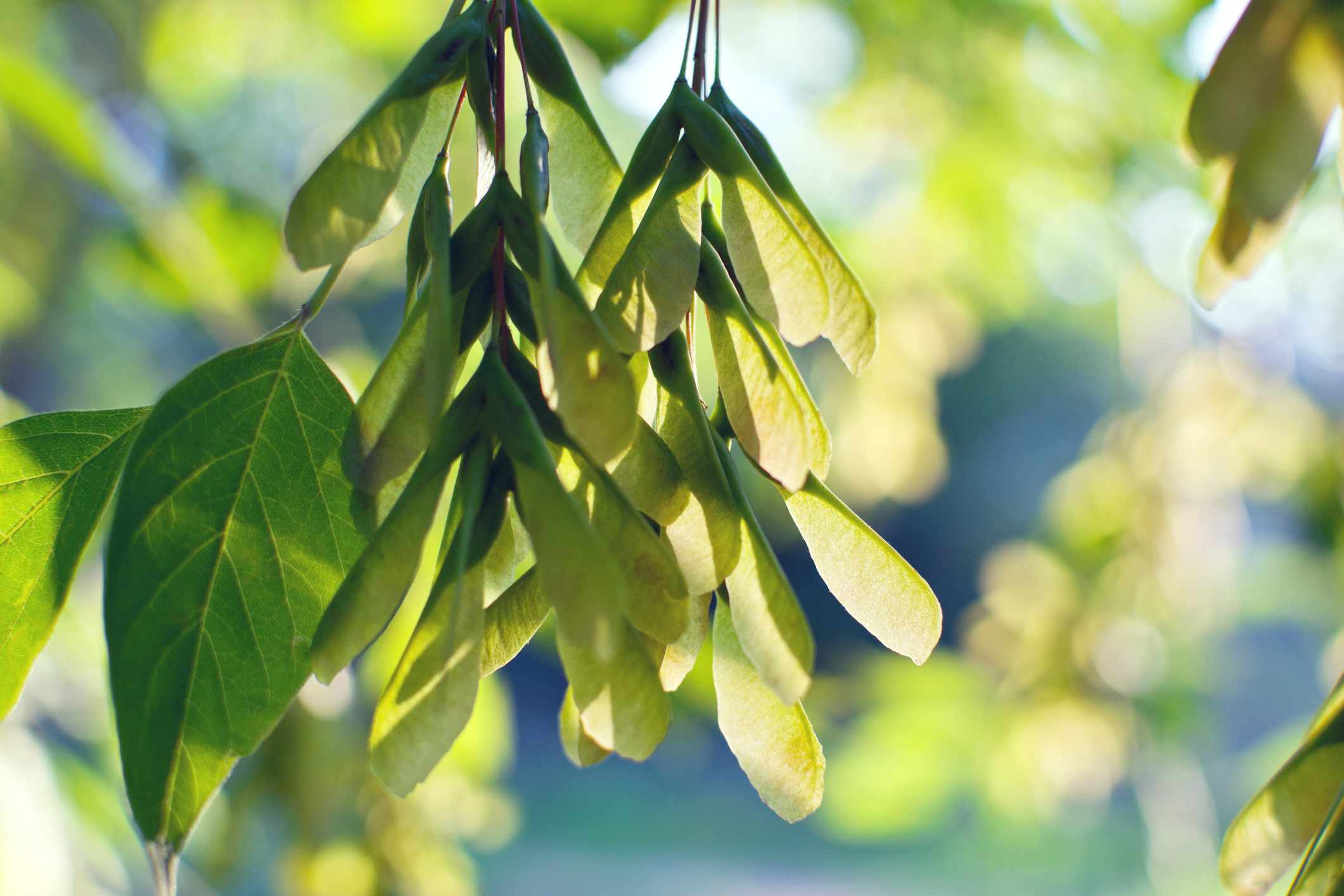 A leaf and seeds hanging from a Boxelder tree.