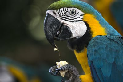 blue and yellow macaw eating