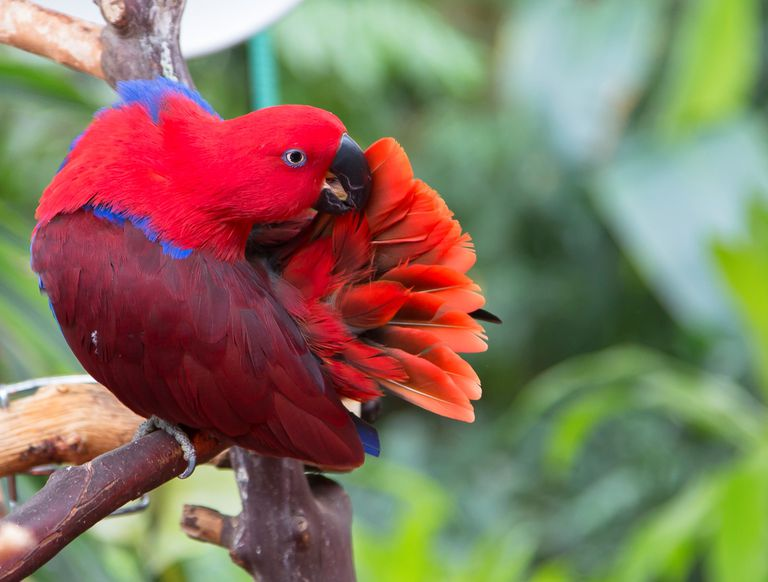 A female electus parrot cleans its feathers at Bloedel Conservatory