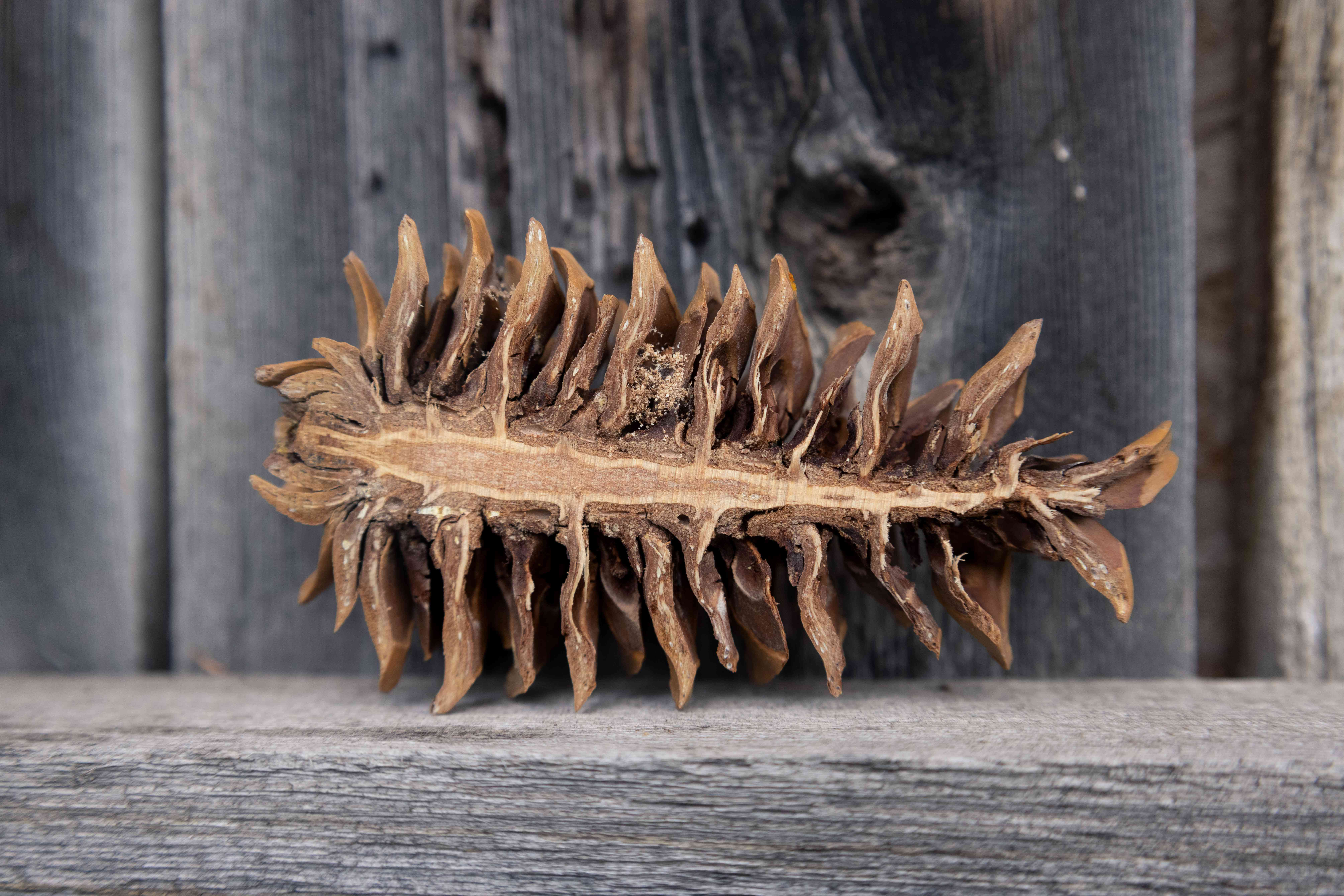 pine cone split in half to reveal seeds, propped on wooden fence