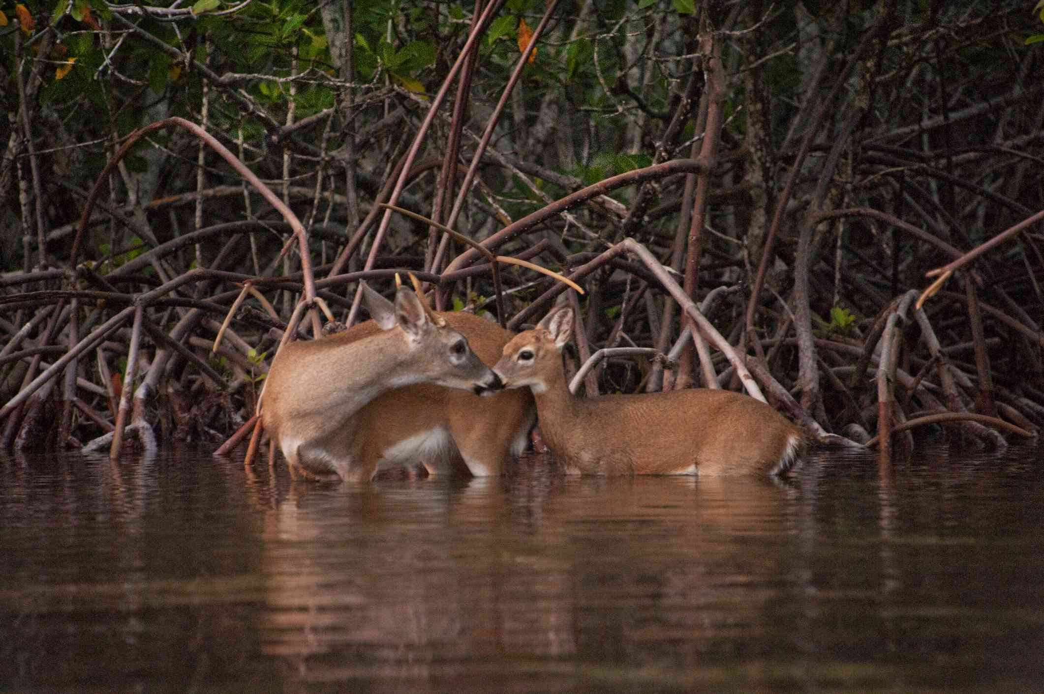 A female key deer with her fawn standing in water next to a mangrove