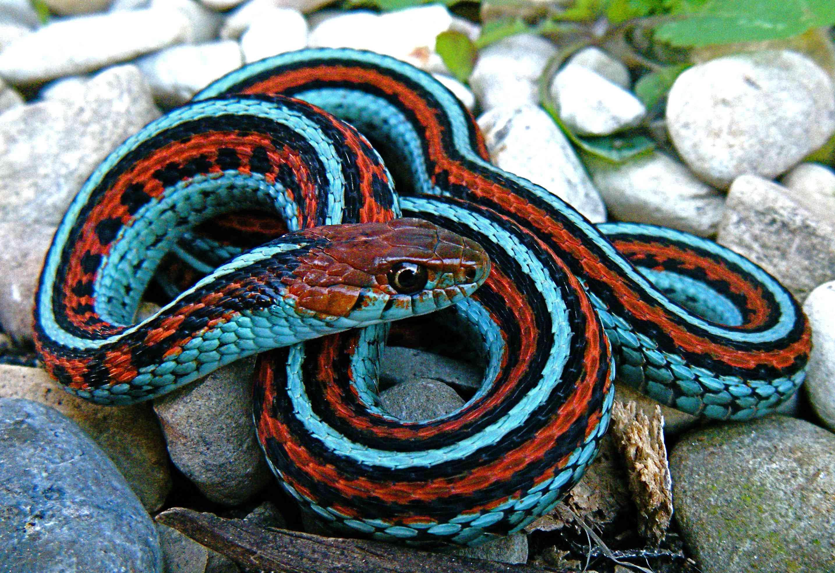 San Francisco garter snakes are listed as endangered