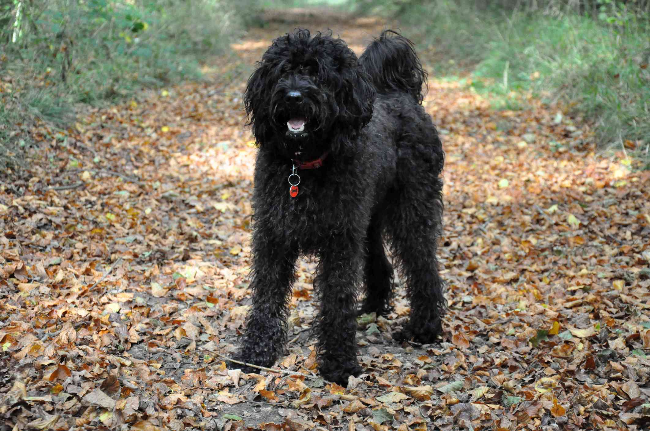 A black labradoodle standing on a path of fallen leaves