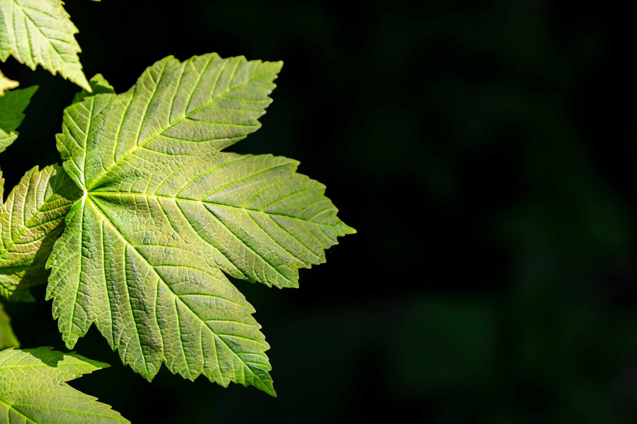 Green sycamore leaf with pointed edges.