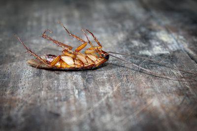 Dead roach on wooden floor
