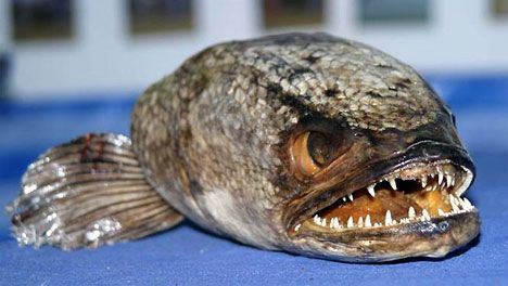 fishzilla snakehead fish photo