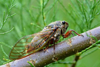 Close-up of cicada perched on twig
